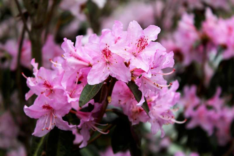 Rh. rigidum aff., pink variety, Aixingarden 2017