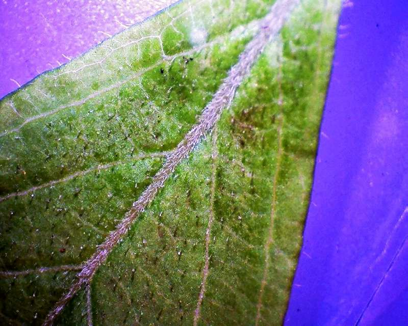 Rh. schlippenbachii, leaf upper side, Aixingarden 2017-800
