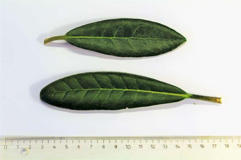 Rh. smirnowii, leaf upper sides, Aixingarden 2017-800