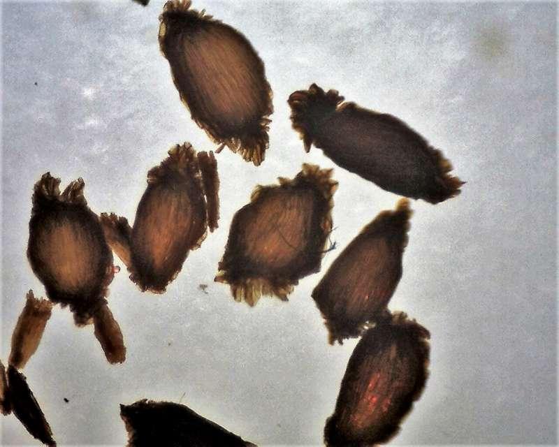 Rh. smirnowii, seeds transmitted light, 1.1-1.4 mm, Aixingarden 2018-800