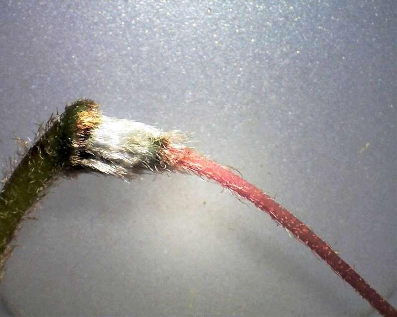 Rh. wadanum hairy ovary Aixingarden 2016-800
