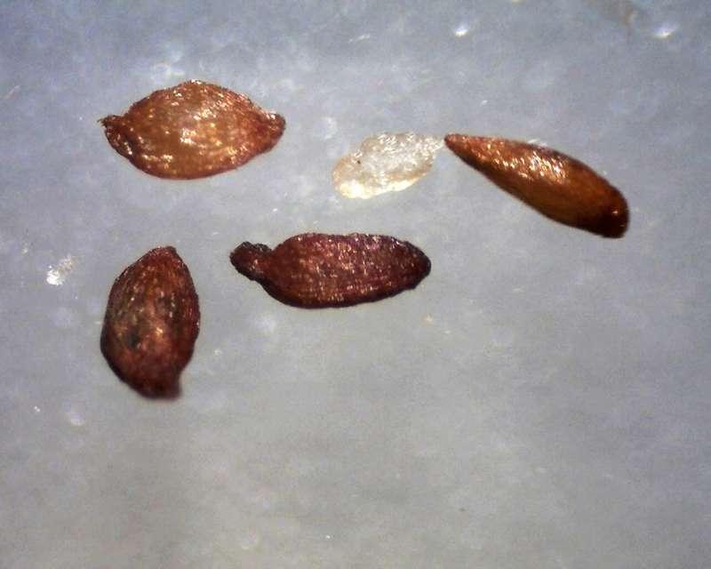 Rh. wadanum seeds 1.1 - 1.2 mm, Aixingarden 2017-800