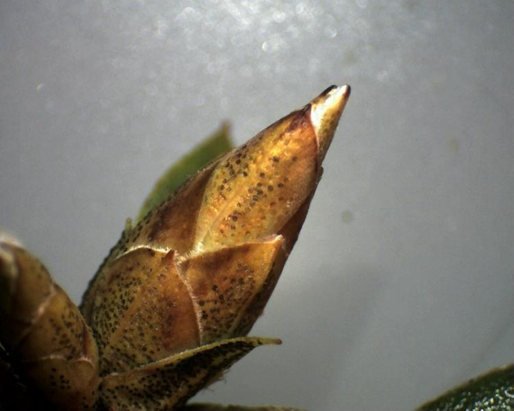 Rh. concinnum, flower bud, Aixingarden 2017-800x600