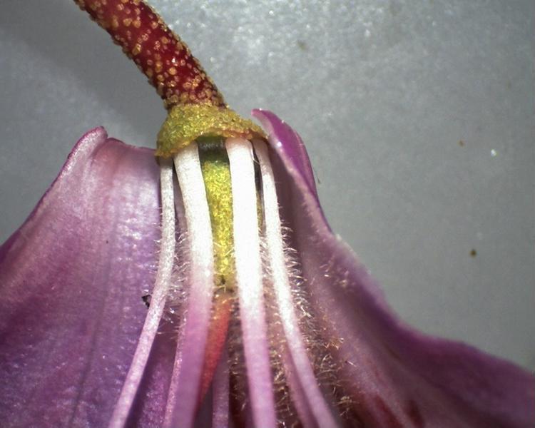 Rh. concinnum, flower details, Aixingarden 2017-800x600