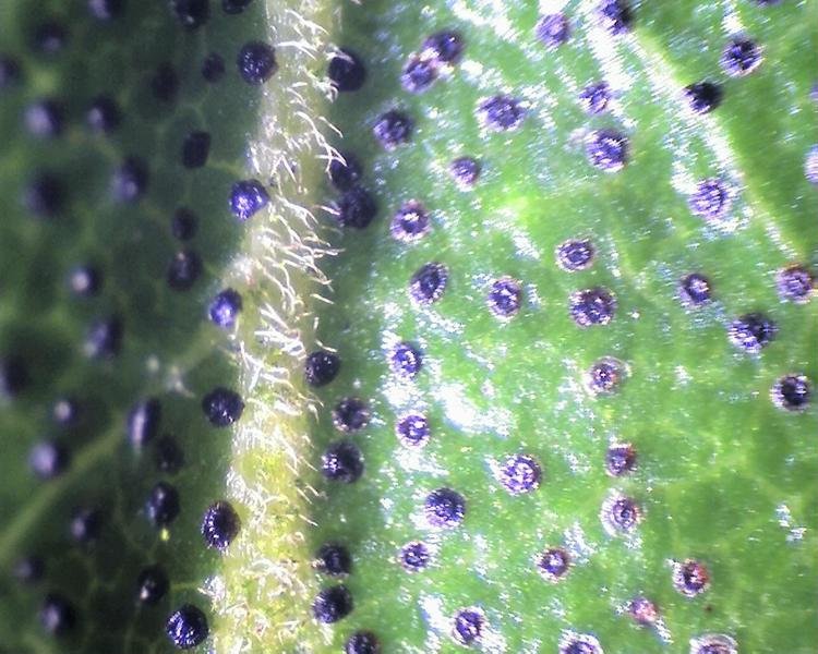 Rh. concinnum, hairy midrib, leaf upper side, Aixingarden 2017-800x600