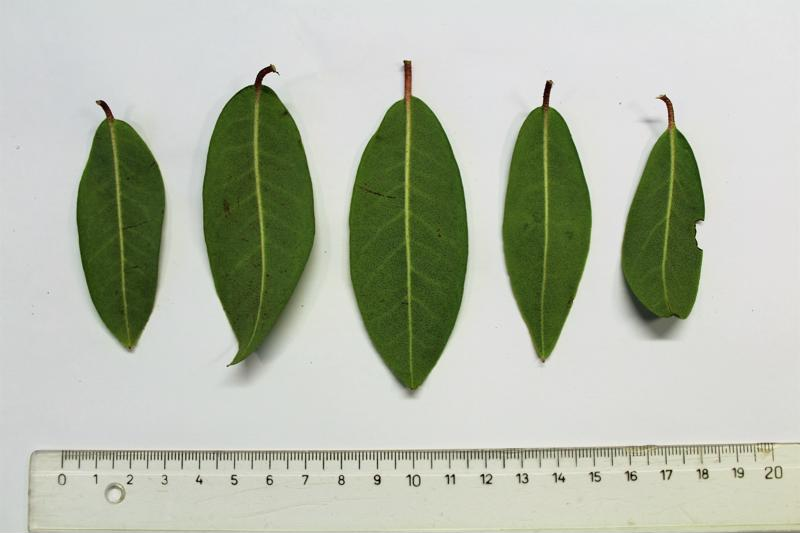 Rh. concinnum leaf lower side, Aixingarden 2018-800x600