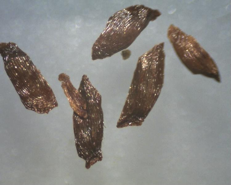 Rh. concinnum, seeds 1.3-1.7 mm, Aixingarden 2017-800x600