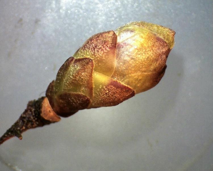 Rh. dauricum, flower bud, Aixingarden 2018-800x600