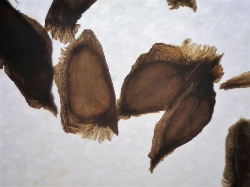 Rh. beesianum seeds, Aixingarden 2018-800x600