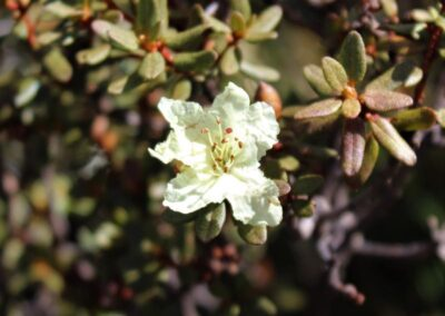Rhododendron rupicola var. muliense