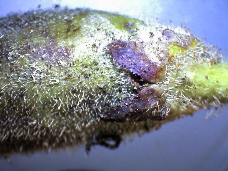 Rh. auriculatum, calyx. Origin P. Schaarup-800x600
