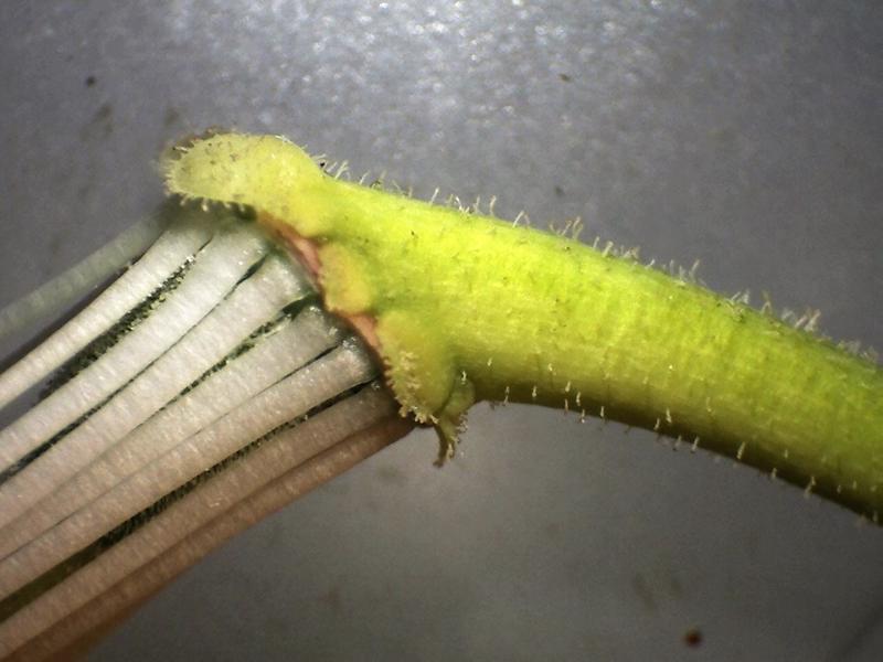 Rh. auriculatum pedicel and calyx, Aixingarden 2018-800x600