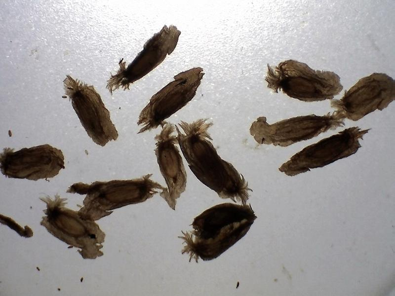 Rh. auriculatum seeds, 3.3 - 4.8 mm-800x600