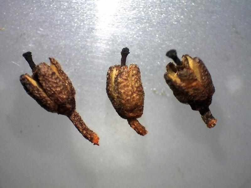Rh. intricatum FB11-2018 capsules-800x600