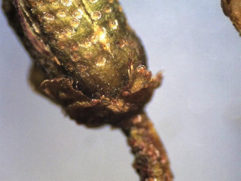 Rh. intricatum FB11-2018 ciliate calyx-800x600