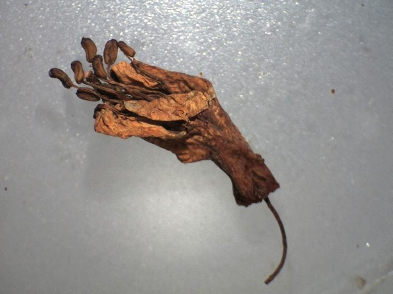 Rh. rupicula var muliense FB9-2018 dried flower, 10 stamens-800x600