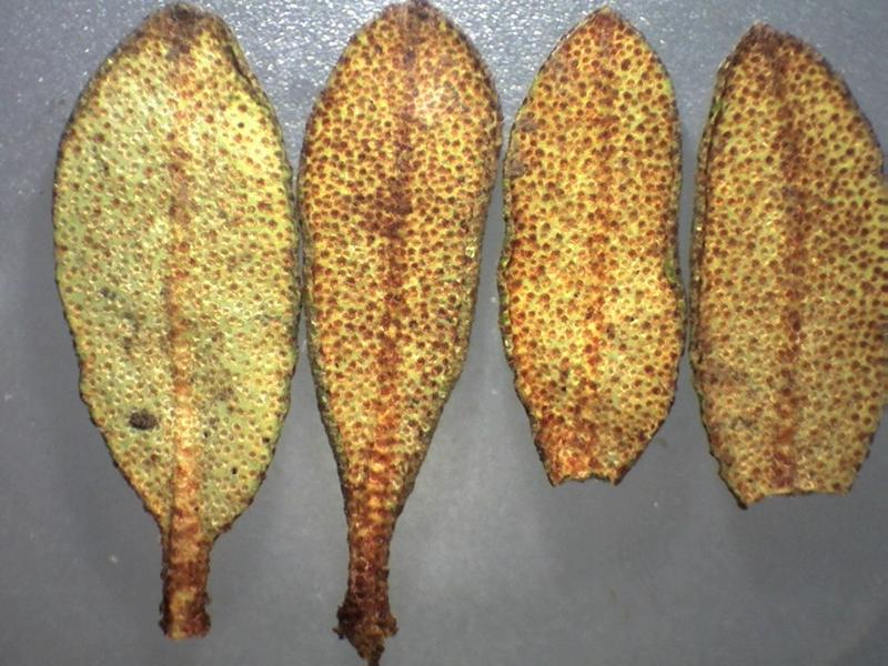 Rh. rupicula var muliense FB9-2018 leaves lower side-800x600
