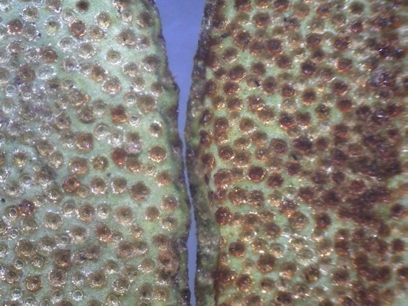 Rh. rupicula var muliense FB9-2018 scales leaf l.s-800x600