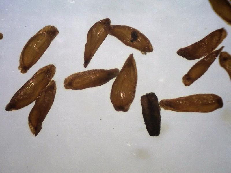 Rh. rupicula var muliense, FB9-2018 seeds 1.0 - 1.3 mm-800x600