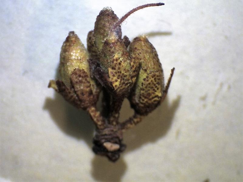 Rh. rupicula var muliense capsules c. 6 x 3 mm-800x600