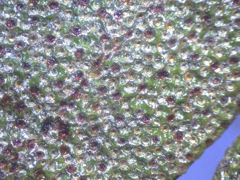 Rh. rupicula var muliense, scales leaf u.s-800x600