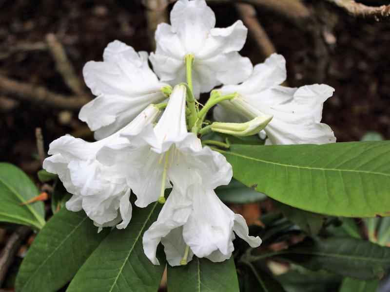 Rhododendron auriculatum inflorescence, Aixingarden 2018-800x600