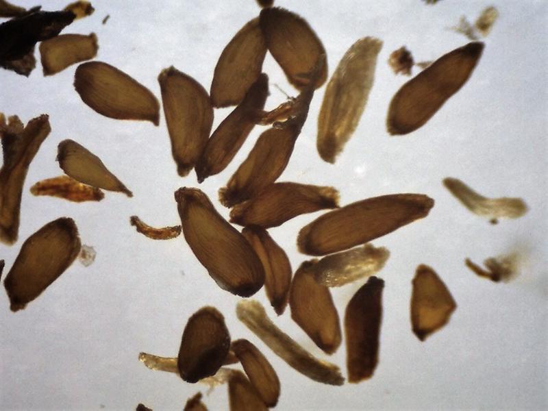 FB10-2018 seeds 760-1120 micrs.-800x600