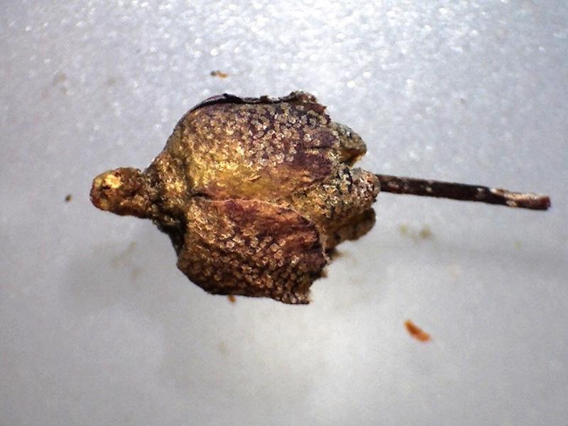 Rh. websterianum, FB31-2018, capsule enclosed by calyx