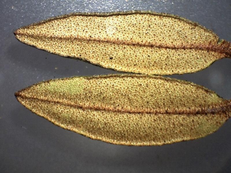 Rh. websterianum, FB34-2018 leaf lower sides