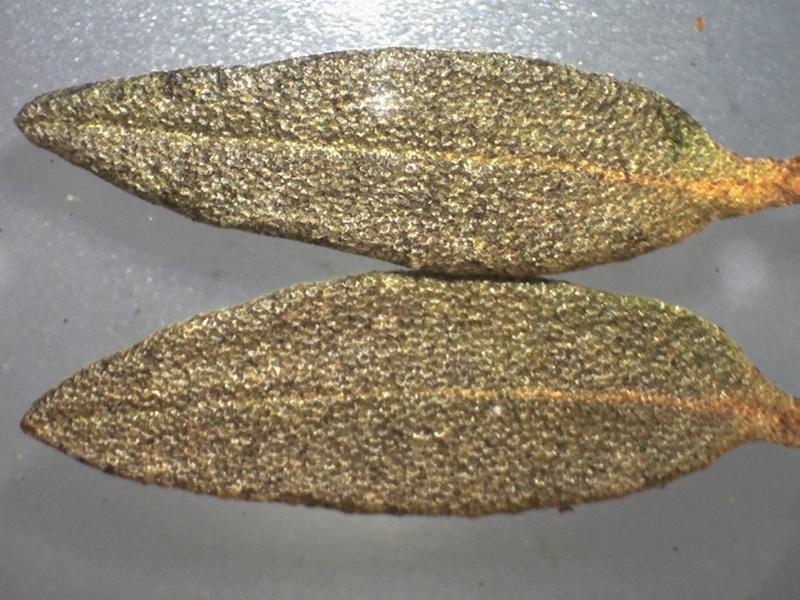 Rh. websterianum FB34-2018 leaf upper sides, l = 15-16 mm