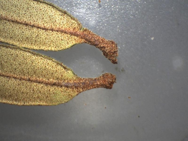 Rh. websterianum FB34-2018 petioles 1.9 mm