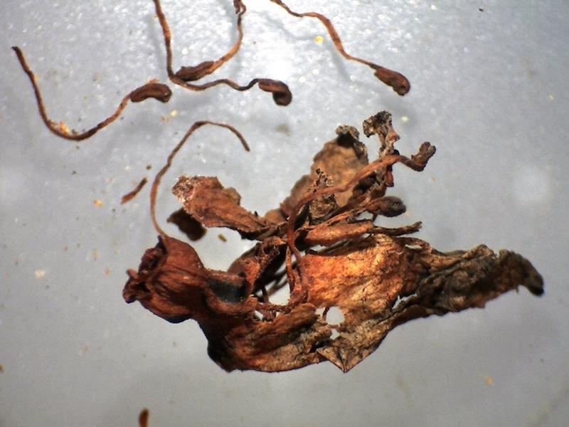 Rh. websterianum, dry flower, 10 stamens
