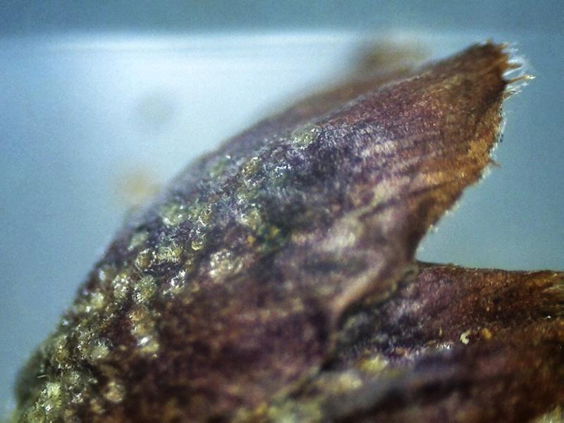 Rh. websterianum, lepidote and ciliate calyx lobe