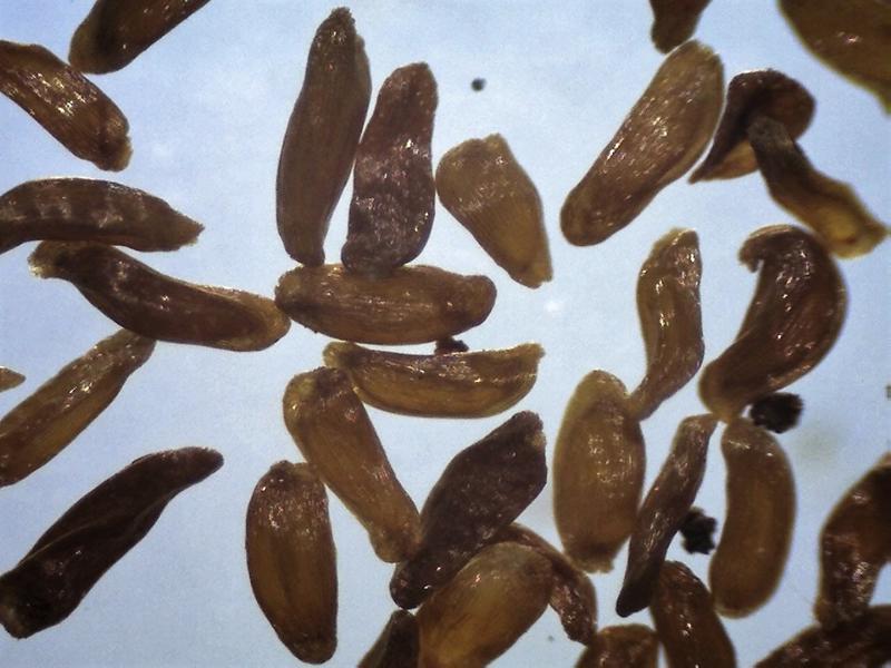Rh. websterianum, seeds 940-1300 micrs.