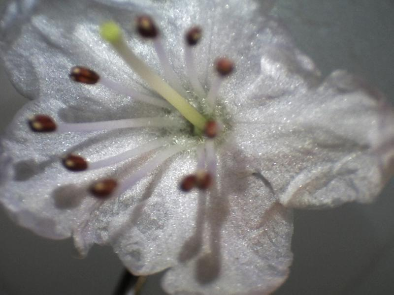 Rh. nitidulum var. nitidulum FB39-2018, corolla inside view