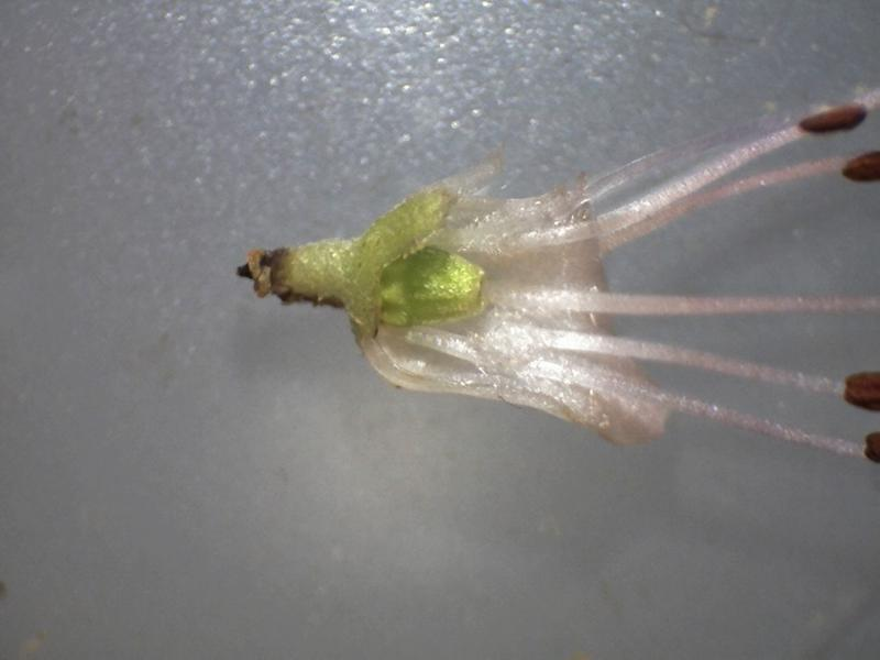 Rh. nitidulum var. nitidulum FB39-2018, ovary, corolla partly removed