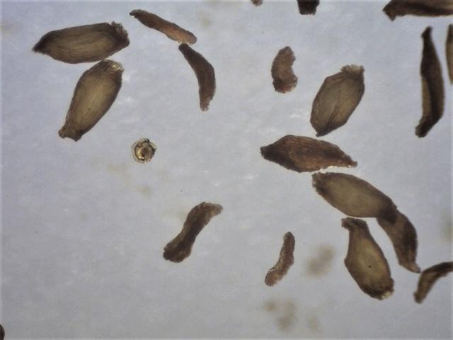 Rh. concinnum ssp. gonggaense FB8-2012, seeds 830 - 950 micrs.