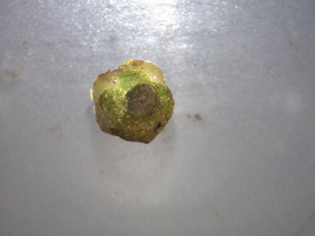 Rh. concinnum ssp. gonggaense, calyx