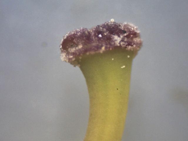 Rh. concinnum ssp. gonggaense, stigma 1.9 mm