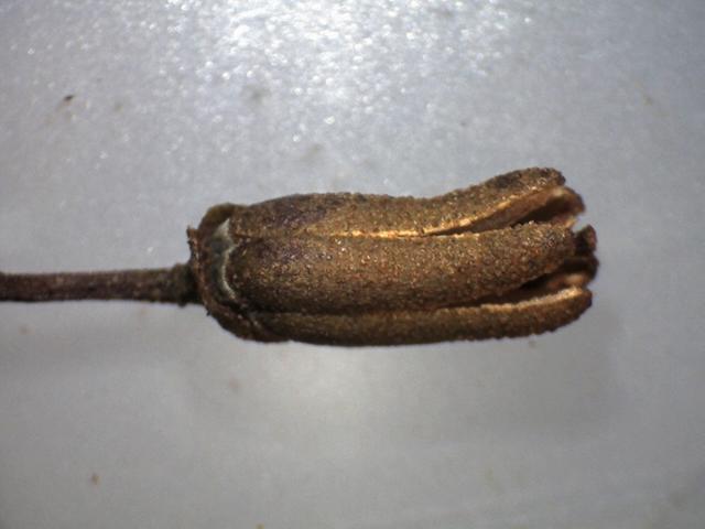 Rh.concinnum ssp. gonggaense FB8-2012 capsule