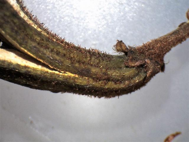 Rh. sikangense var. sikangense FB15-2018 capsule, calyx 1.9 mm