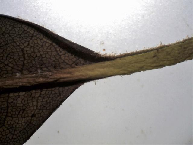 Rh. sikangense var. sikangense FB15-2018 hairy petiole and leaf margin
