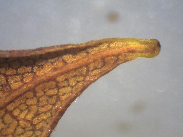 Rh. sikangense var. sikangense, FB15-2018, leaf apex