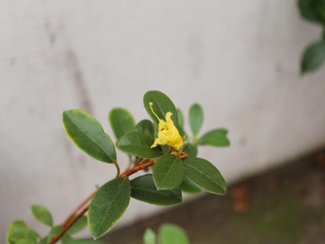 Rh. flavantherum, Aixingarden 2019