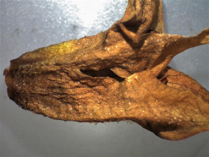 Rh. flavantherum, lepidote corolla