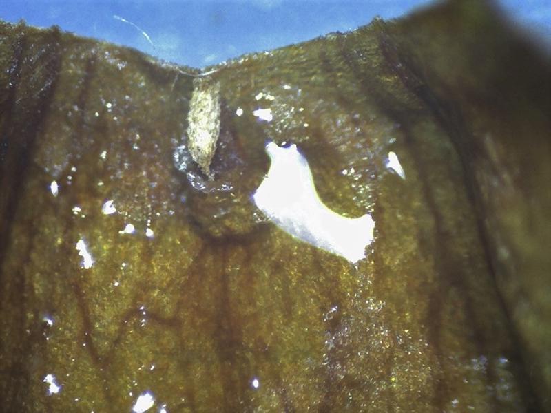 Rh. flavantherum, nectary pouch