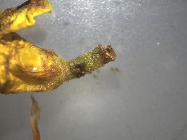 Rh. flavantherum, pedicel 5 mm with short-stipitate scales