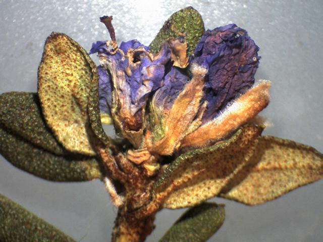 Rh. nivale ssp. australe, FB15-2019