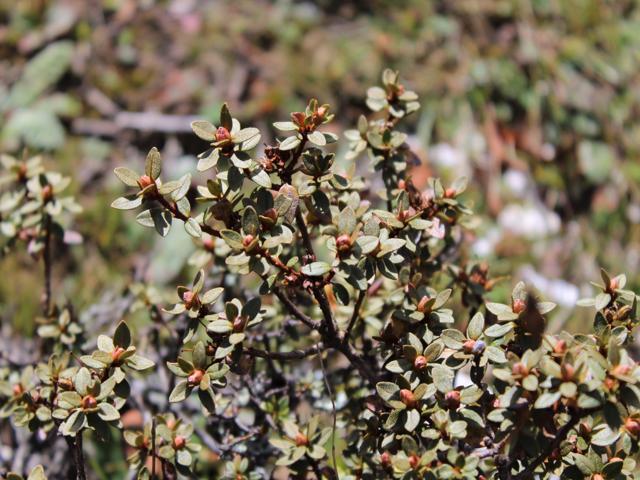 Rh. nivale ssp. australe, FB15-2019 (2)