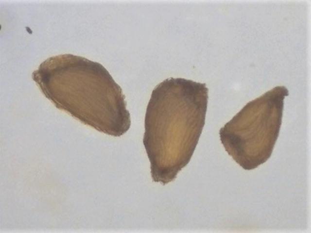 Rh. nivale ssp. australe FB15-2019 680-730 micrs.-640x480